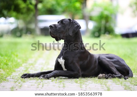 Portrait of a Great Great Dane of black color against a background of greenery. A beautiful Great Dane lies on the path and looks into the distance Foto stock ©