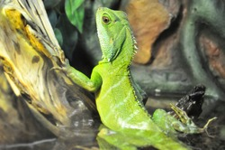 Portrait of a green lizard family of real lizards close-up in an aquarium behind a glass in the water.