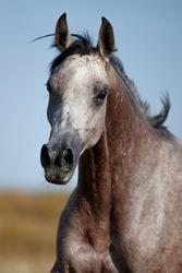portrait of a grey Arabian horse mare stallion