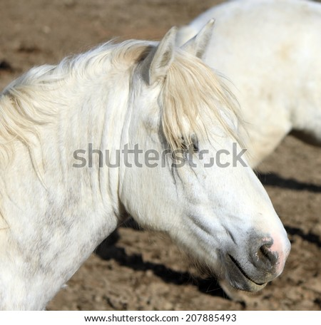 Portrait of a grey Camargue horse, France #207885493