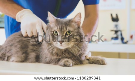 Portrait of a grey cat at veterinary clinic. Vet stroking a fluffy domestic cat before procedure
