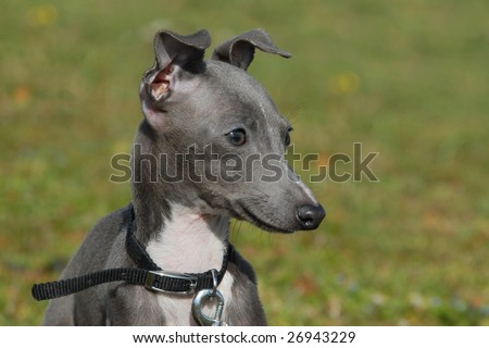 Greyhound Puppies on Portrait Of A Grey Puppy Purebred Italian Greyhound Stock Photo