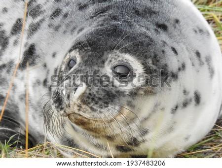Portrait of a Grey Seal pup at Donna Nook Foto d'archivio ©