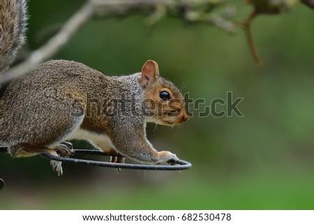portrait of a grey squirrel sitting on a wire frame #682530478