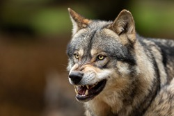 Portrait of a Grey wolf angry in the forest