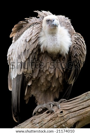 Portrait of a Griffon isolated on white.