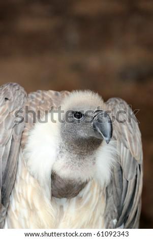 portrait of a Griffon Vulture - Gyps fulvus