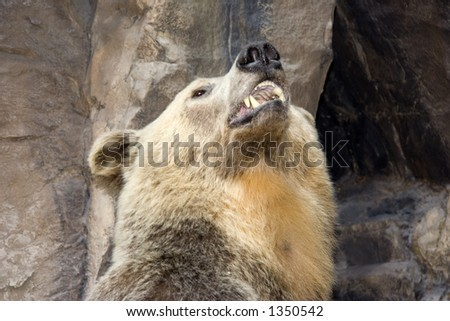 portrait of a grizzly bear - in a roaring pose Stock photo ©