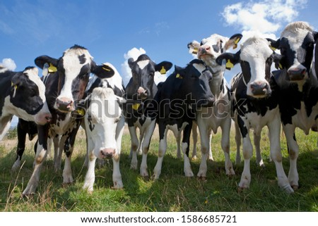 Portrait of a group of cows
