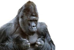 Portrait of a grumpy gorilla isolate