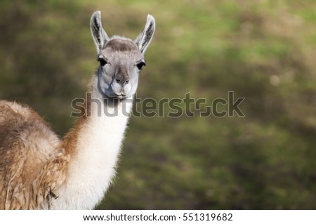 Portrait of a Guanaco chewing on something, and listen with both ears forward. Guanaco is a mammal of the genus Lam of the family of camelid. Is the ancestor of the domesticated llama.