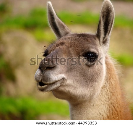 Portrait of a Guanaco chewing on something, and listening with both ears ahead