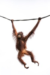 Portrait of a hairy orangutan swinging from a wine againt the bright sky. Singapore.