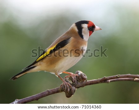 Portrait of a handsome male Goldfinch #71014360