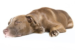 Portrait of a happy lazy sleeping young Pitt Bull and Labrador Retriever  mix lying down isolated on white.