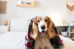 Portrait of a happy spaniel dog on the sofa in bedroom. Pets at home, cheerful and funny puppy on the bed, generic modern interior