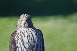 Portrait of a hawk perched on a fence looking at camera with a humerous expression. Brown and white feathers with yellow eyes and beak. Green grass in background. Offset for copy space.