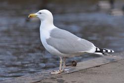 Portrait of a herring gull (Larus argentatus) in adult plumage