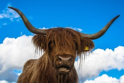 Portrait of a Highland Cow, the hairy cow. Usually found in the Scottish Highlands
