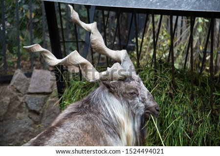 Portrait of a Horned goat, the Markhor, eating the green grass in the trough. Wildlife, mammals, fauna.