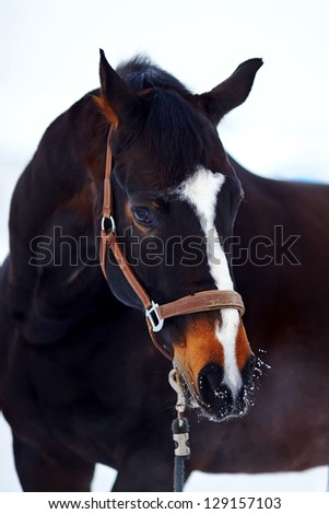 Portrait of a horse. Sports horse. Thoroughbred stallion. Muzzle of a horse. Saddle horse.