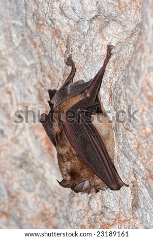 Portrait of a horseshoe bat.