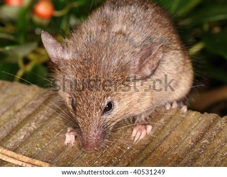 Portrait of a house mouse
