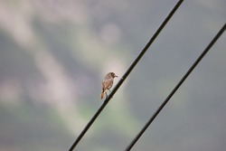 portrait of a house redtail on a current line
