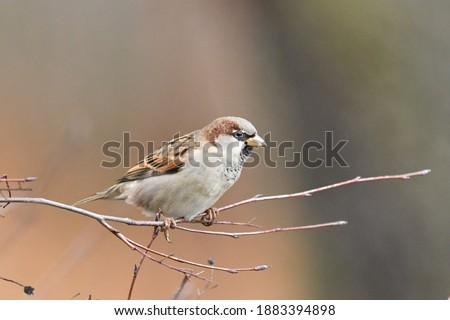 Portrait of a house sparrow (Passer domesticus) Foto stock ©