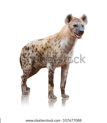 Portrait Of A Hyena On White Background