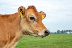 Portrait of a Jersey calf with big eyes and black snout, green grass, pale blue sky.