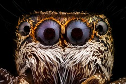 Portrait of a jumping spider magnified 10 times. Real life frame width is 2.2mm. Jumping spiders are a group of spiders that constitute the family Salticidae.