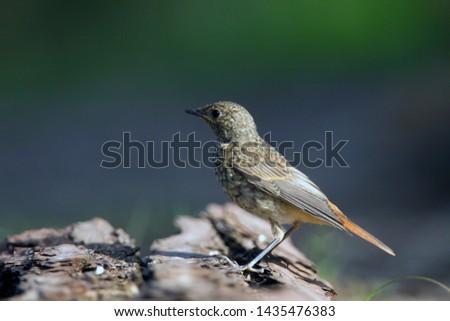 Portrait of a juvenile Common Redstart, the Netherlands #1435476383