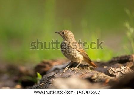 Portrait of a juvenile Common Redstart, the Netherlands #1435476509