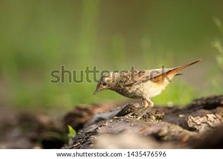 Portrait of a juvenile Common Redstart, the Netherlands #1435476596