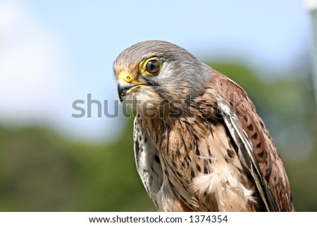 """Portrait of a Kestrel - """"Falco tinnunculus"""" - with blue sky and trees in background"""