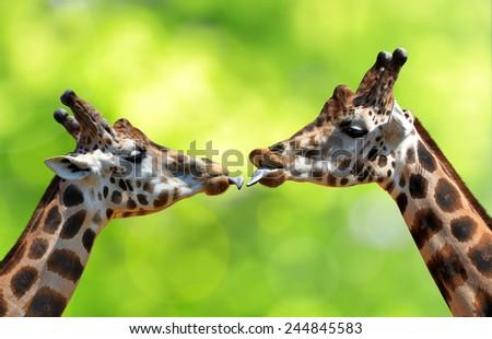 Portrait of a kissing giraffes  #244845583