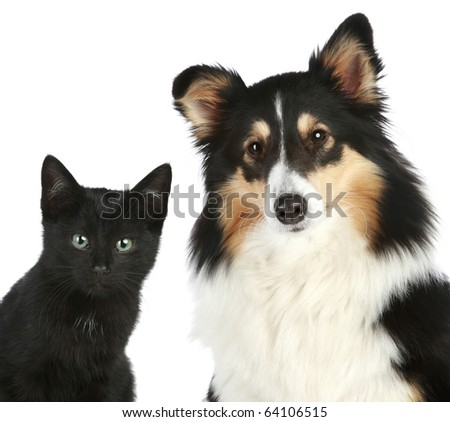 Portrait of a kitten and dog Shetland sheepdog. Isolated on a white background