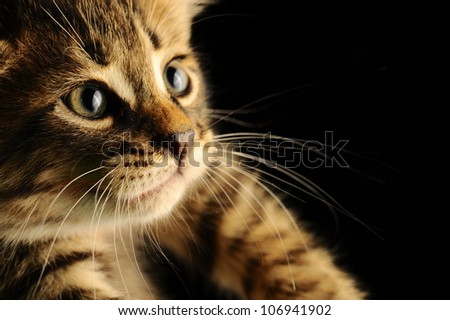 Portrait of a kitten closeup.
