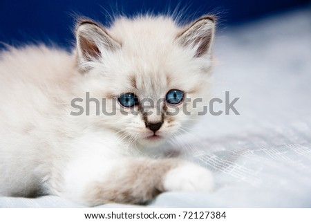 Portrait of a kitten with blue eyes and  clear fur, lying on a bed ,ready to play.