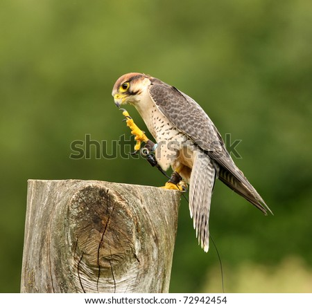 Portrait of a Lanner Falcon preparing to fly