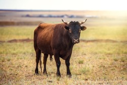 Portrait of a large beautiful bull, brown in color, standing in a field. Cattle. A huge bull is grazing in a pasture. Dangerous animal. The big brown bull stands and looks ahead