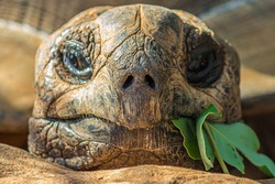 Portrait of a large elephant tortoise (Chelonoidis elephantopus) eats a branch with leaves. It is also known as Galapagos tortoise. Modern Galapagos tortoises can weigh up to 417 kg (919 lb)