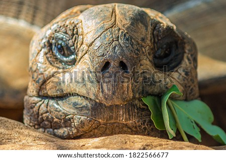 Portrait of a large elephant tortoise (Chelonoidis elephantopus) eats a branch with leaves. It is also known as Galapagos tortoise. Modern Galapagos tortoises can weigh up to 417 kg (919 lb) Stock photo ©
