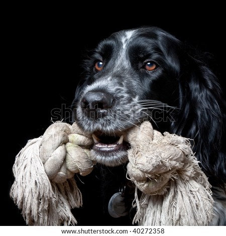 Portrait of a Large Munsterlander with pet toy