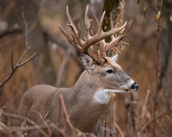 Portrait of a large white tailed buck with an irregular set of antlers.