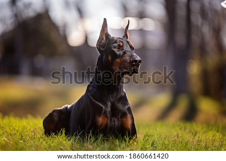 portrait of a laying Doberman outdoors Foto stock ©