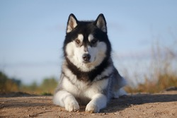 Portrait of a laying fleecy grey and white dog of siberian husky breed outdoors in his best looking at camera