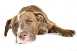 Portrait of a lazy sleeping young Pitt Bull and Labrador Retriever mix lying down isolated on white.