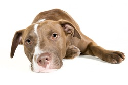 Portrait of a lazy young Pitt Bull and Labrador Retriever mix lying down isolated on white.